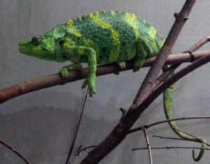types of chameleons - meller's