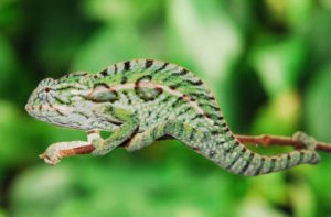 types of chameleons - carpet