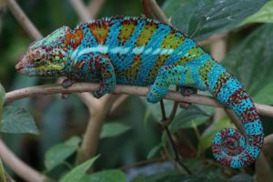 types of chameleons - panther