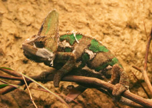 types of chameleons - veiled