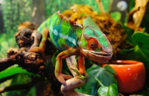 chameleon facts