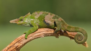 types of chameleons - fischer's