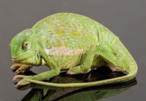 types of chameleons - senegal